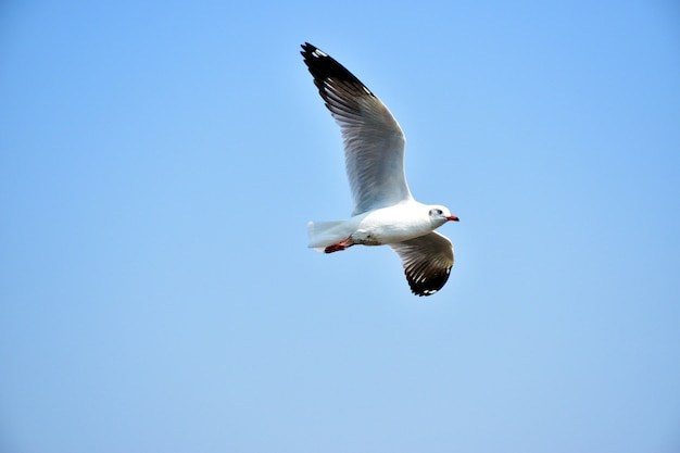 Seagull bird flying with blue sky background.