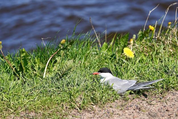 Seagull bird hides in green grass near water. close up