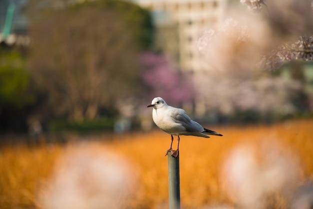 Seagull bird and japan sakura cherry blossom