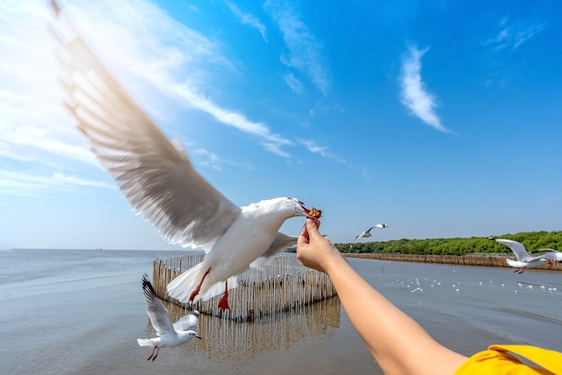 Seagull bird spreading wings flying to eat crackling from woman hand feeding