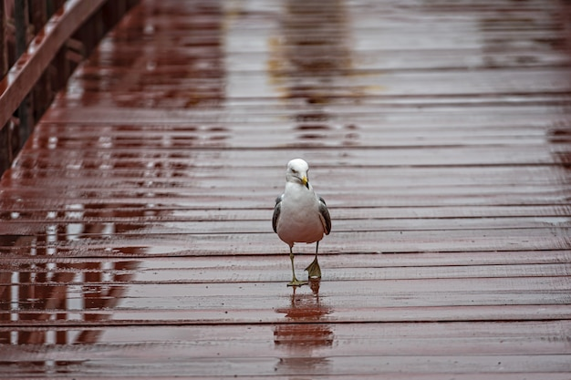 Seagull on a brown-painted, wet wooden footbridge