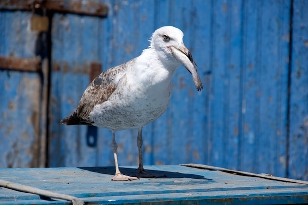 Seagull catch the fish. essaouira. morocco. africa