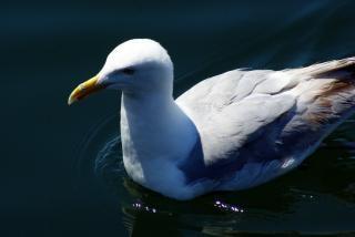 Seagull closeup  white