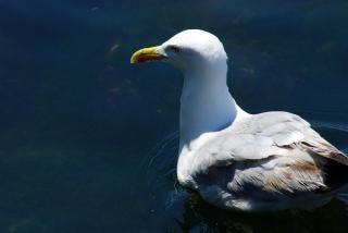 Seagull closeup  wing