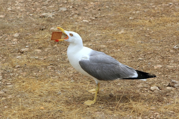 Seagull eating biscuit human trash open bill