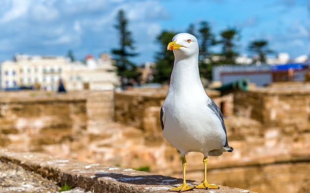 Seagull at the fishing port of essaoura - morocco, north africa