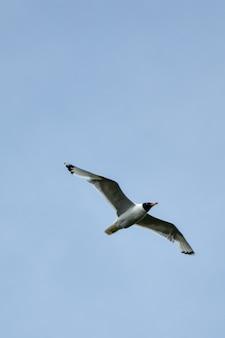 Seagull flies across the sky