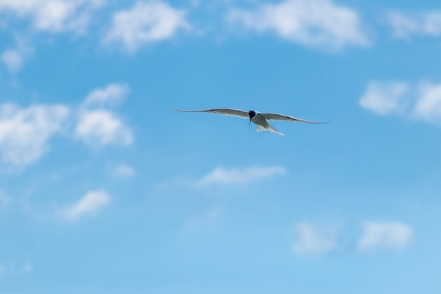 Seagull flies high in the sky in clear sunny weather