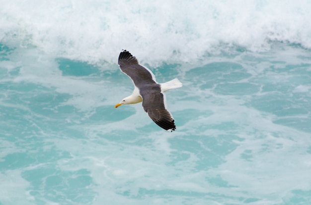 Seagull in flight across the surf of the pacific ocean