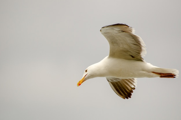Seagull in flight isolated