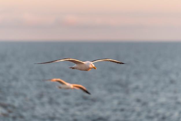 日没時に海を飛んでいるカモメ。ゴールデンアワー照明。