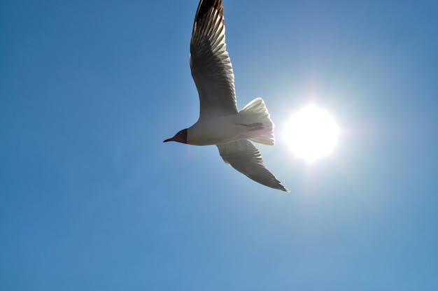 Seagull flying in blue background