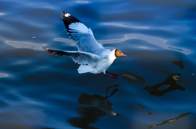 Seagull flying over the blue sea