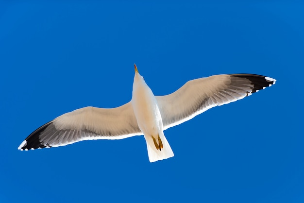 Seagull flying in blue sky, close-up of seagull flying over blue sky