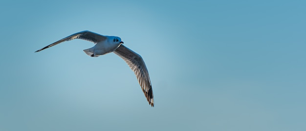 Seagull flying in blue sky over the sea.
