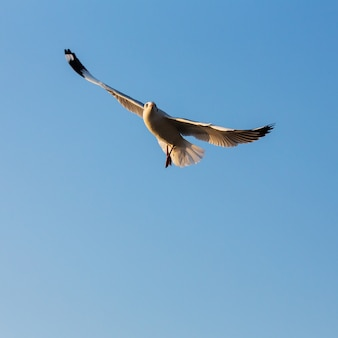Seagull flying in clear blue sky