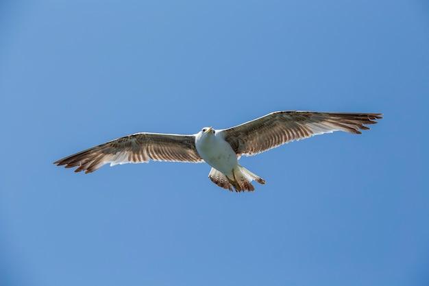 Чайка летит на фоне голубого неба, крупным планом
