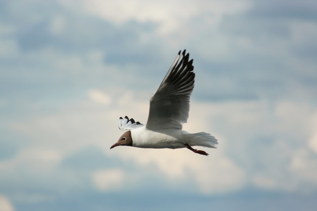 A seagull flying with a wide flap of the wing over the water in summer.