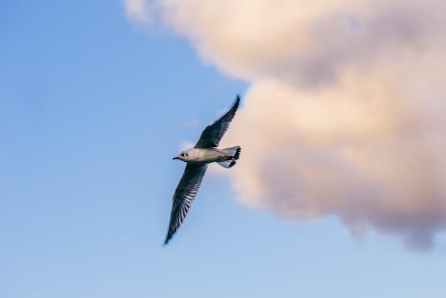 雲と夕焼け空に対して飛行中のカモメ