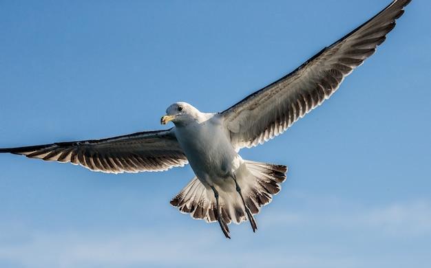 Чайка в полете против голубого неба