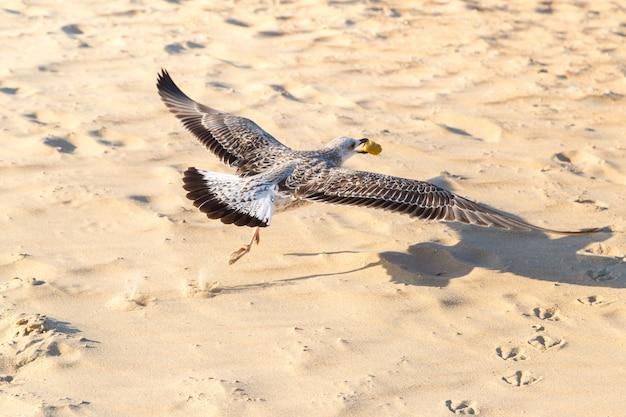 갈매기는 부리에 음식과 함께 해변 위에 날고있다