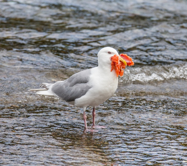 Чайка стоит в воде с клювом рыбы.