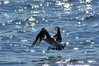 Seagull landing, plumage