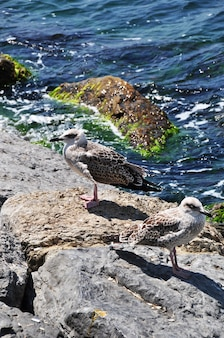Seagull on a large stone. sea waves with white foam. summer sunny day.