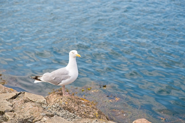 昼間は海のほとりの岩にとまるカモメ