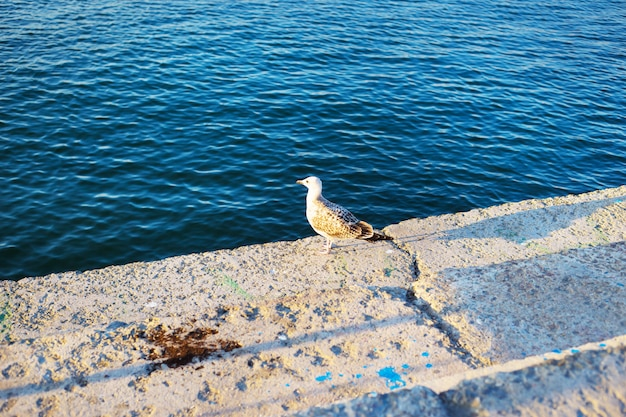 Seagull at the pier