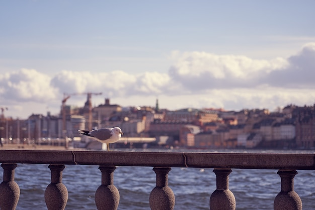 Seagull portrait in city. close up view of a bird sitting on a sea shore against a blue water and blurred old city of stockholm.