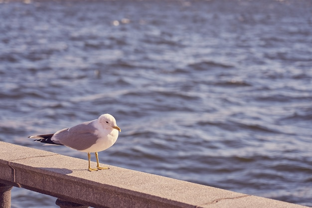 Seagull portrait in city. close up view of white bird seagull sitting on a sea shore against a blue water.