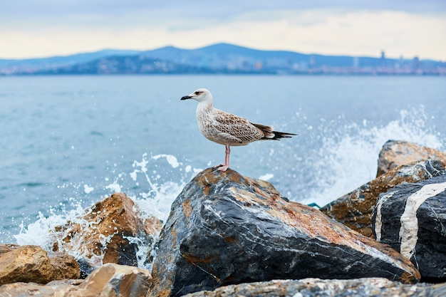 The seagull poses on the rocks by the sea during the surf