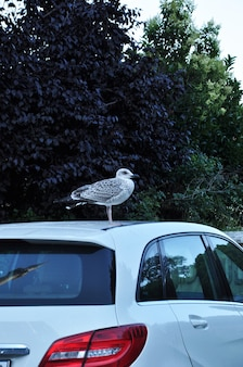 The seagull sat on the roof of the stopped car. seagull on the roof against the background of green trees.