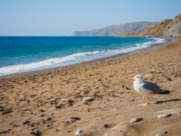 Seagull on the sea shore laspi on the black sea