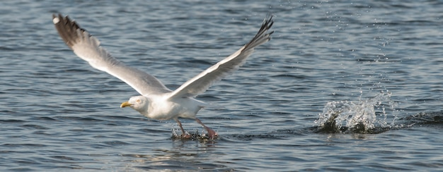 Seagull skimming over the water, lake of the woods, ontario, canada