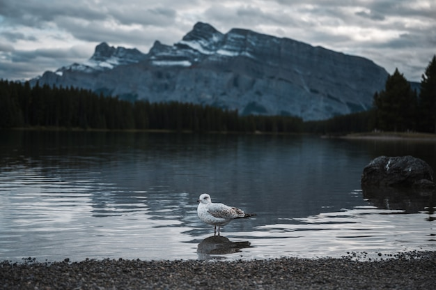 Seagull standing on lakeside in two jack lake at banff national park
