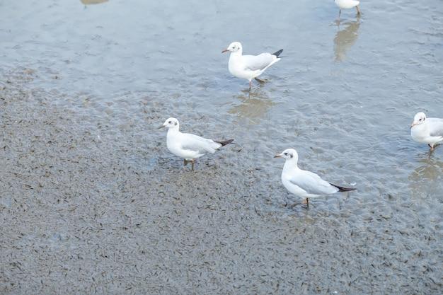 Чайка, стоящая на грязи в бангпу