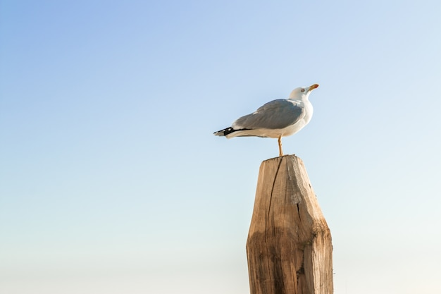 Seagull standing on wood with clear blue sky in the background