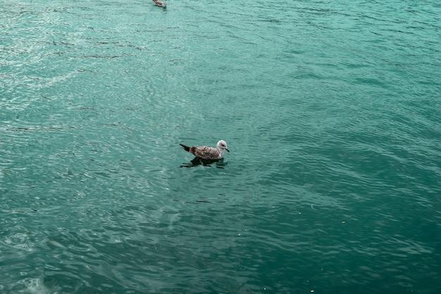 Seagull swimming in green sea alone