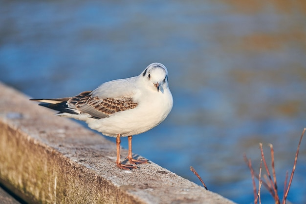 Seagull walking along shore next to sea on sunny summer day. close up view of gull on blue water background.