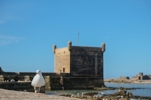 A seagull walking around the ramparts by the ocean at essaouira citadel.