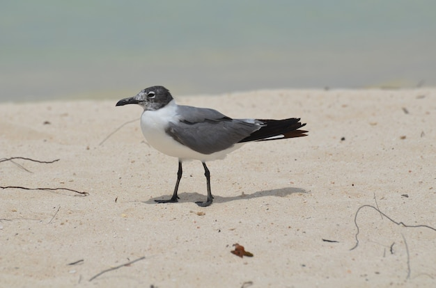 Seagull walking on a white sand beach in the caribbean