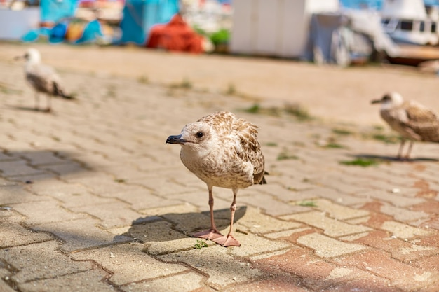 Seagull walks along the embankment of the city in istanbul