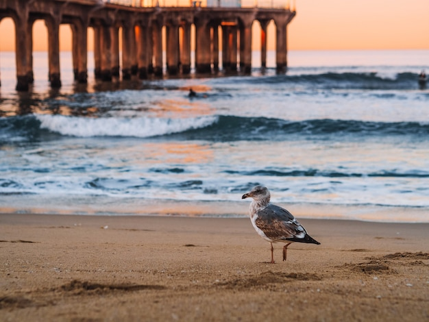 A seagull walks on the sand on a los angeles beach at dawn