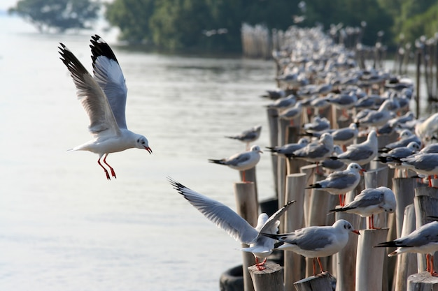 Seagulls are flying to the shores of the coast, sumatra prakarn province, thailand.