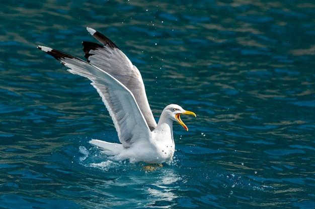 Чайки летают над морем и охотятся на рыбу