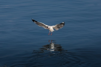 Seagulls fly in fresh blue days in the tropics.