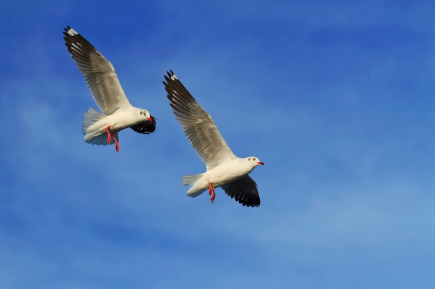 Seagulls flying in blue sky background
