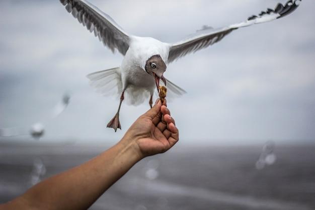 手で餌を飛ぶカモメ。